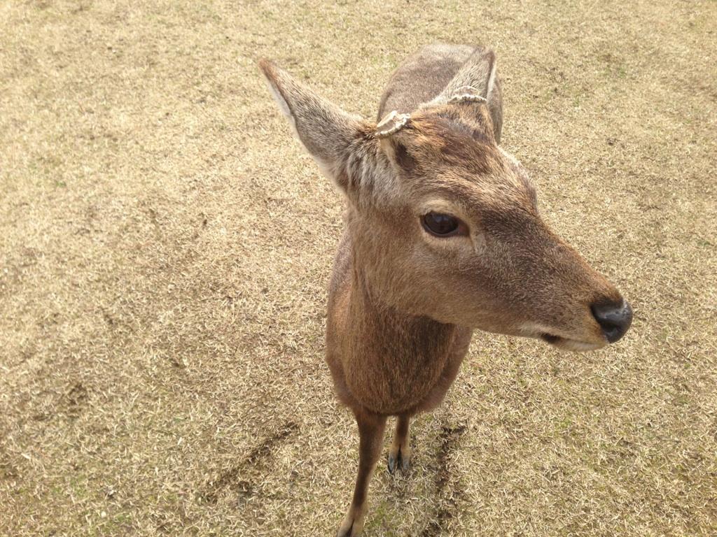 Deer in Nara Park